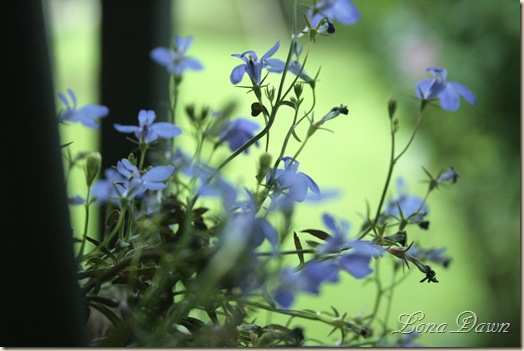 Lobelia_Blue2
