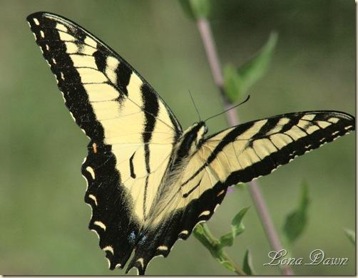 RL_Eastern_Swallowtail2