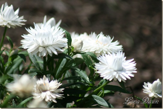 FPC_WhiteBracteantha_Strawflower
