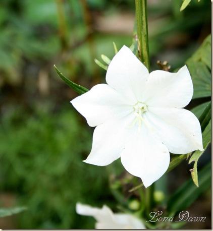 Bellflower_White_Aug9