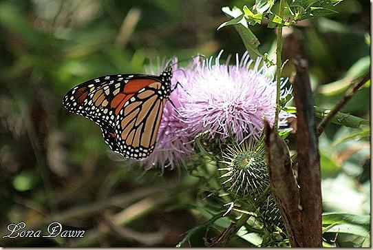 CC_Monarch2_Thistle