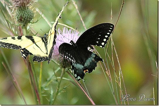 CC_EasternTigerSwallowtail_BlackSwallowtail