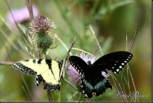 CC_EasternTigerSwallowtail2_BlackSwallowtail