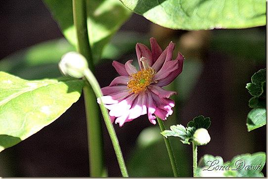 Anemone2_Sept8