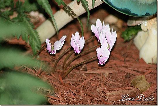 Cyclamen_Hardy_Evening
