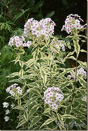 Phlox_NoraLeigh_July20