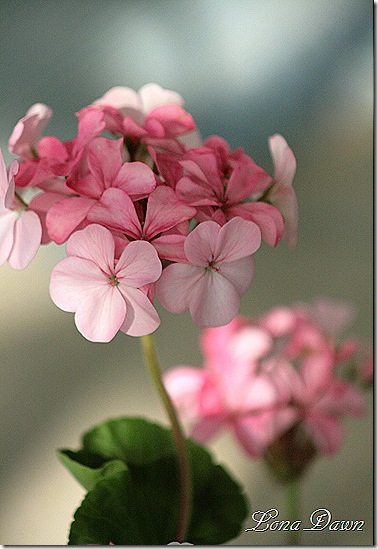 Geranium_Glowing2