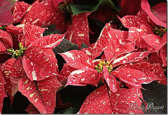 Poinsettia_P_Dec2