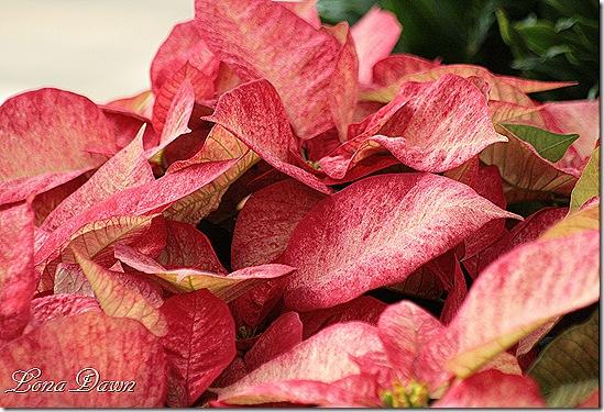 Poinsettia3_TieDye_Dec2