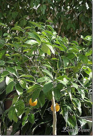 Lemon_Tree_Dec2