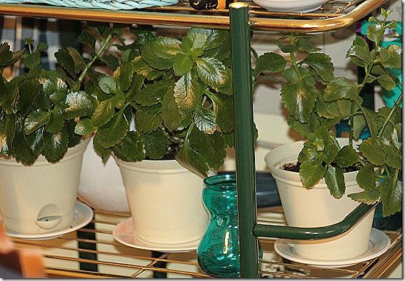 Kolache_Plants