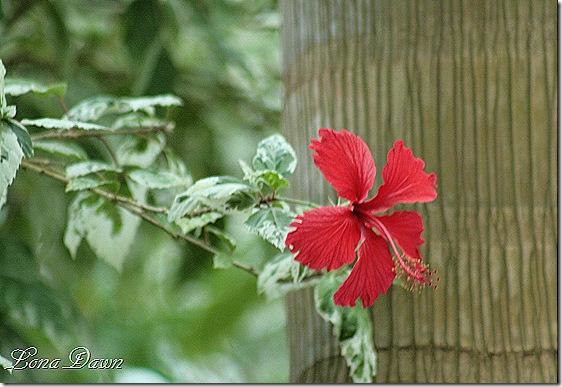 Hibiscus2_VarSnowQueen_Dec2