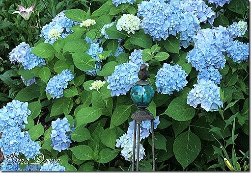 Hydrangea_Nikko2_June15
