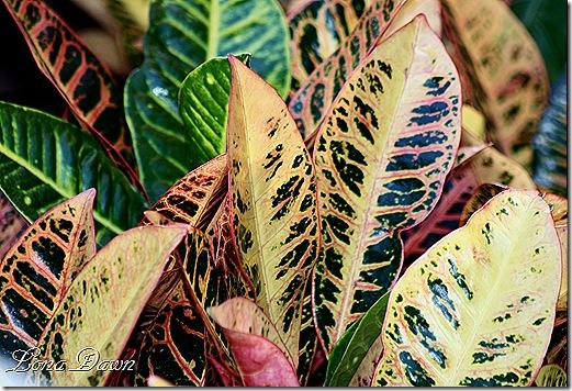 Croton_Codiaeum_Vareigatum