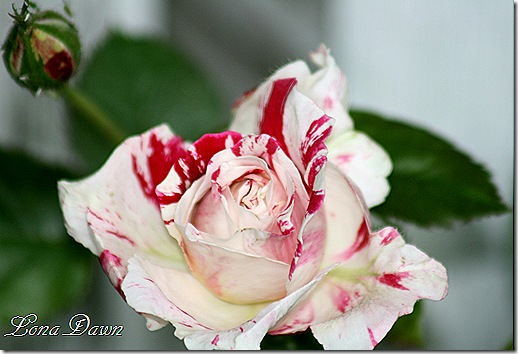 Rose_Senimental2