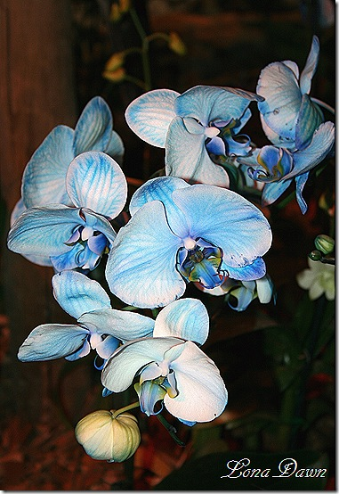 HGS_Orchid_BluePhalaenopsis4
