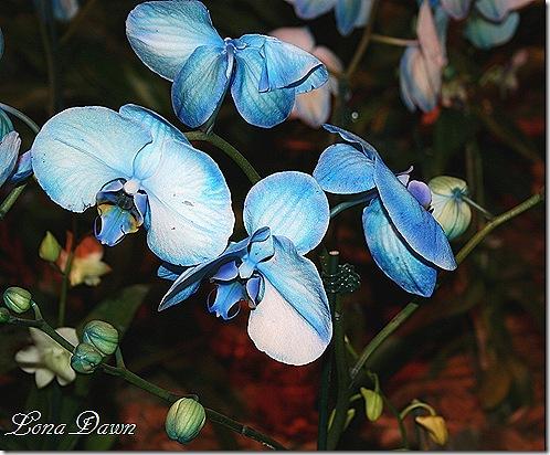 HGS_Orchid_PhalaenopsisBlue5