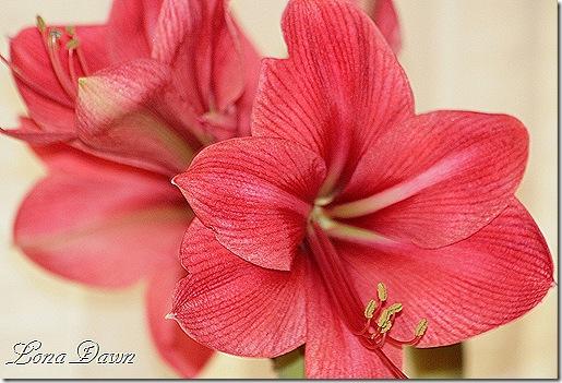Amaryllis_PeachBlossom