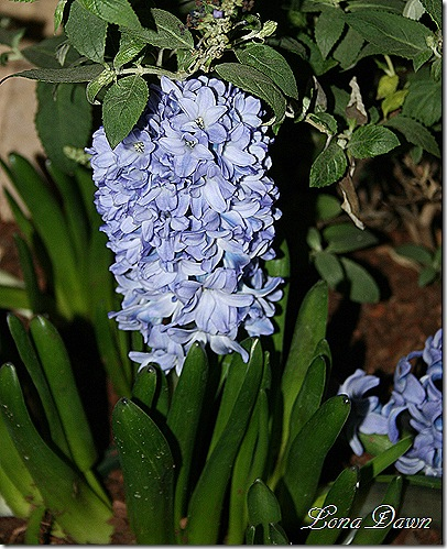 HGS_Hyacinth_Blue