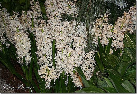 HGS_Hyacinths_White2