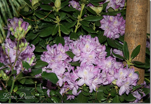 HGS_Rhoddy_Purple3