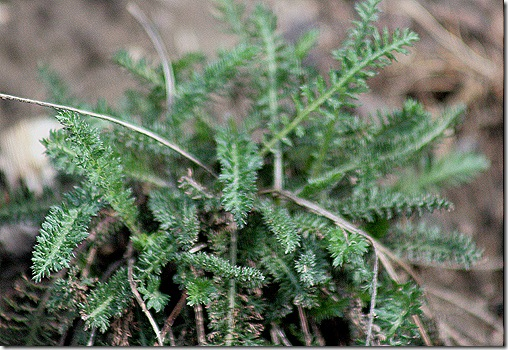 Achillea_Growth_2011