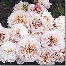Rose_CrussAnAachen_Antique_Floribunda