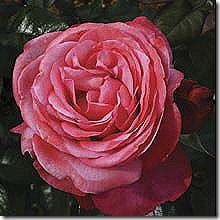 Rose_PinkFlamingo