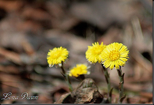 OMC_Coltsfoot2