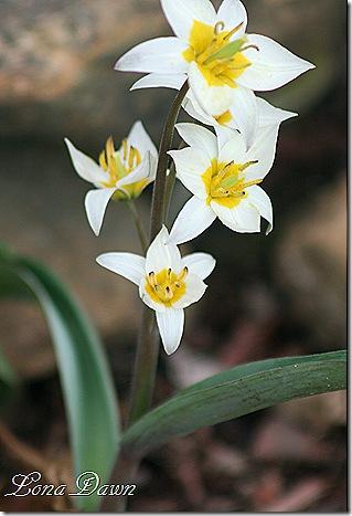 tulipa_turkestanica4