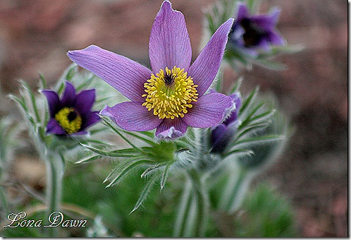 PasqueFlower4_PulsatillaVulgaris