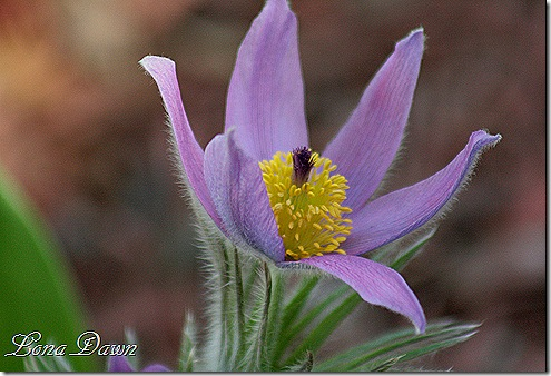 PasqueFlower2_PulsatillaVulgaris
