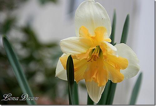 Daffodil_Splitbloom