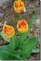 Tulips_Hot