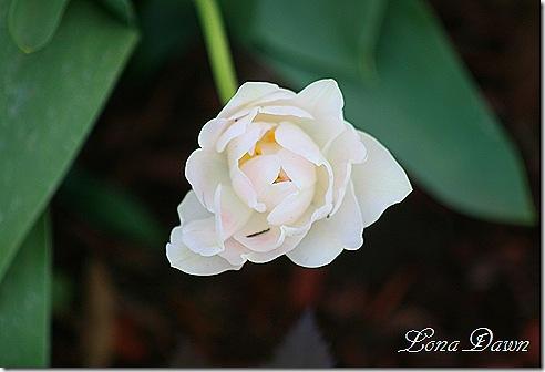 Tulip_Agnelique