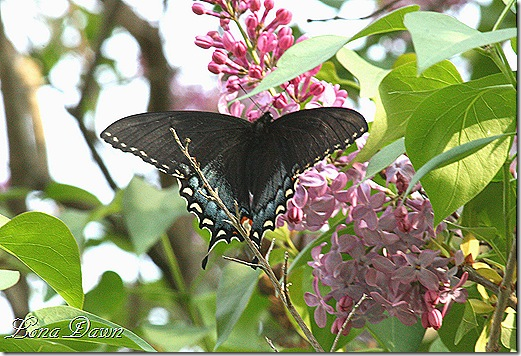 Lilac2_BlackSwallowtail