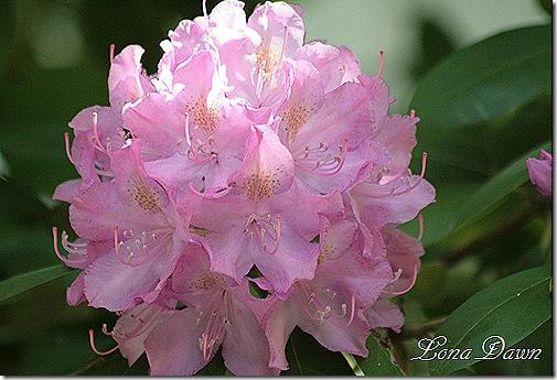 Rhododendron2_PJM