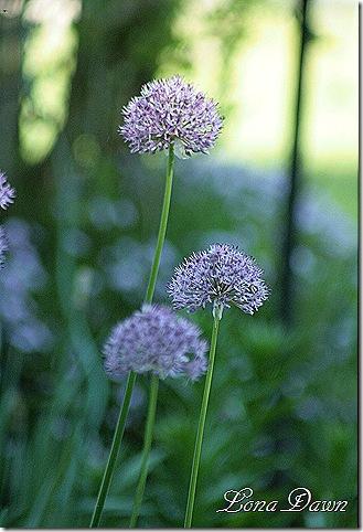Alliums2