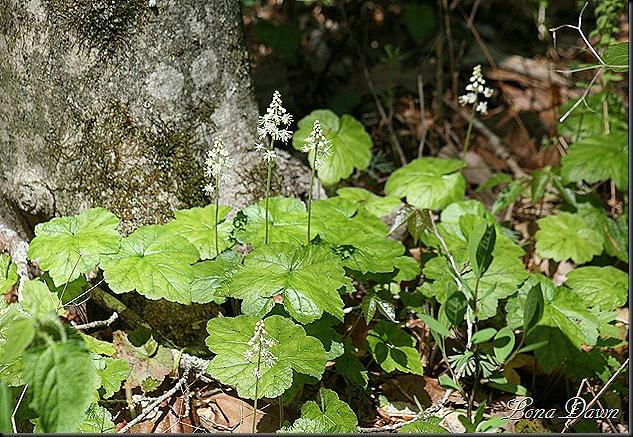 CH_FoamFlower_Tiarella cordifolia