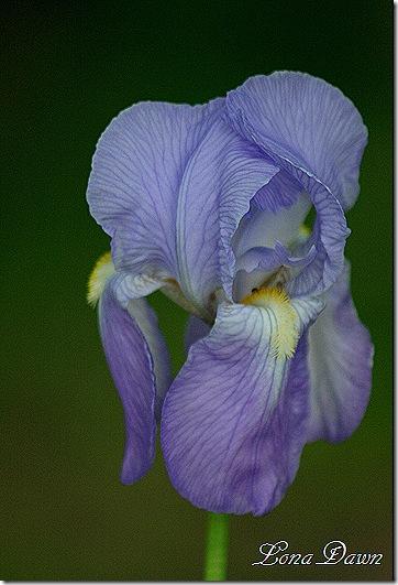 Iris2_OldFashioned