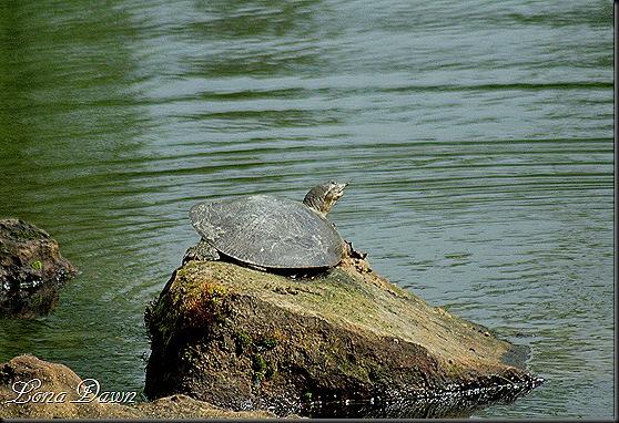 DA_JapaneseGardenLake_Turtles2