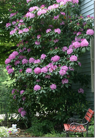 Rhododendron_PJM_May22