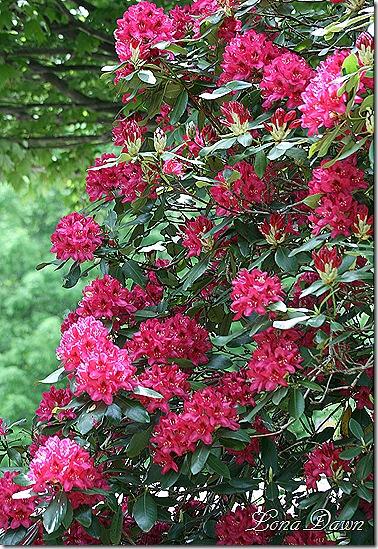 Rhododendron_NovaZemba_May22