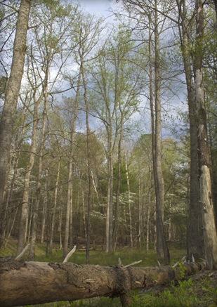 CadesCoveTallTrees