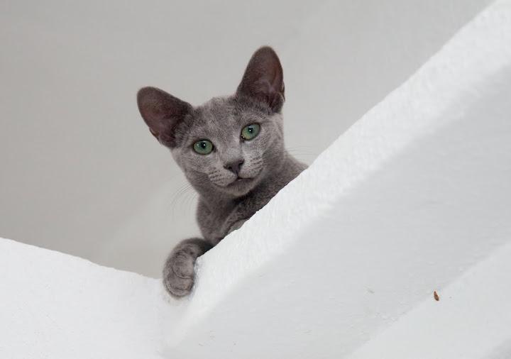 My holiday (Russian Blue photos) Katten-7425