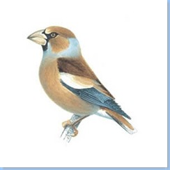 hawfinch_female_winter_300_tcm9-139919