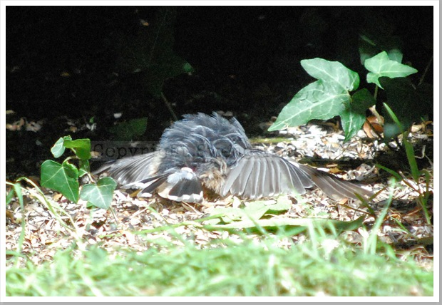 Sunbathing Nuthatch