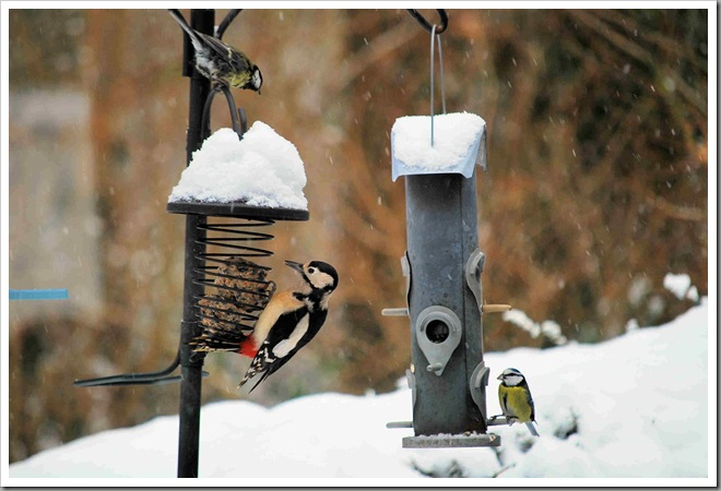 Female woodpecker and blue tit