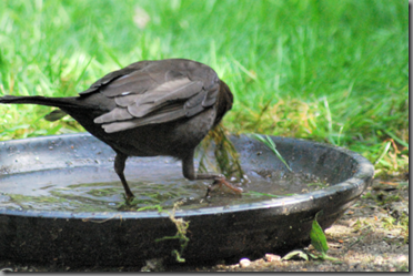 Female blackbird soaking building material