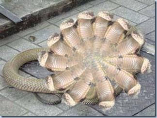 Twelve headed snake